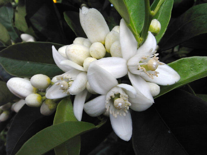 Pure Health HQ - Best Essential Oil For Wrinkles - Neroli