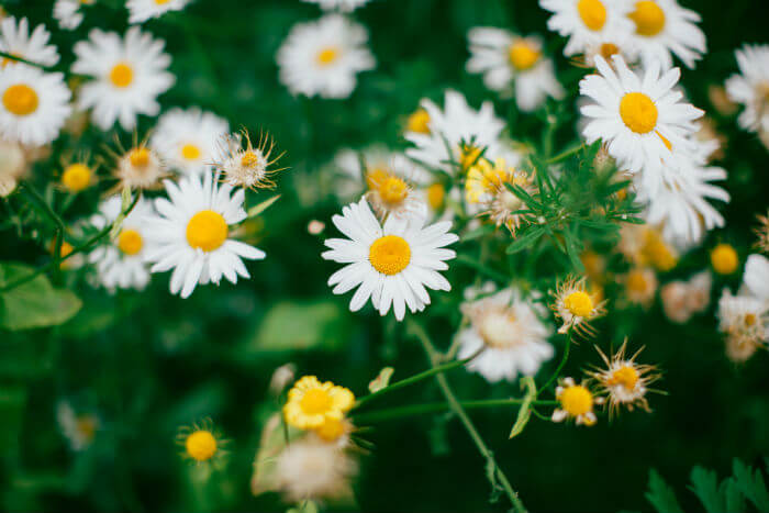 Pure Health HQ - Best Essential Oils For Anxiety - Chamomile