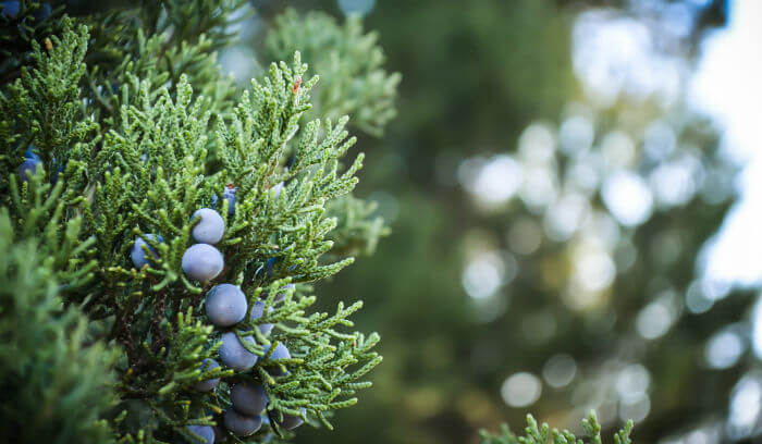 Pure Health HQ - Get Clear Skin With The Best Essential Oil for Acne- Juniper Berry