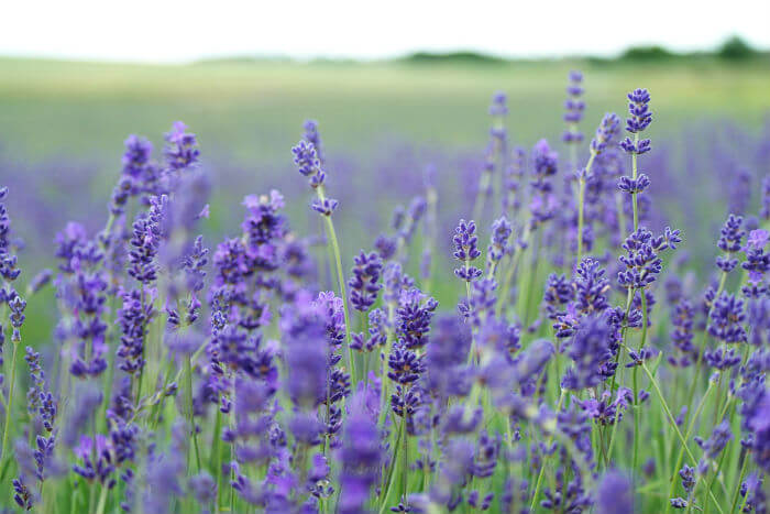 Pure Health HQ - Best Essential Oils For Anxiety - Lavender