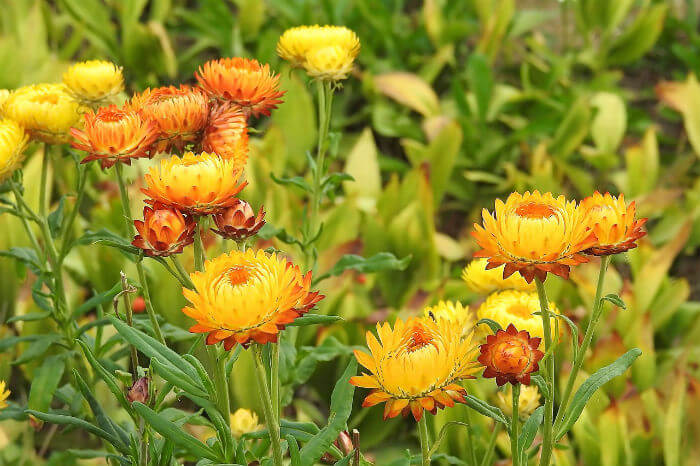 Best Essential Oil for Inflammation - Pure Health HQ - Helichrysum